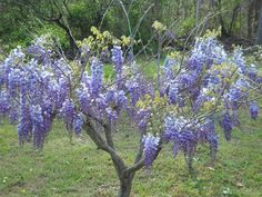 Wisteria vine that I've pruned and loved for about 13 years.