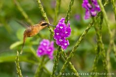 Stripe-throated Hermit - Costa Rica Hummingbirds - Ralph Paonessa Photography Workshops