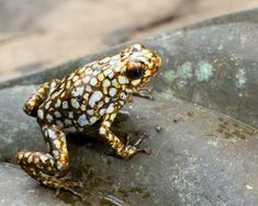 """""""Comme un bijou, mais dangereux !"""" :-)little devil poison frog (Oophaga sylvatica) Funny Frogs, Cute Frogs, Frosch Illustration, Amazing Frog, Poison Dart Frogs, Wild Life, Kermit The Frog, Green Frog, Serpent"""