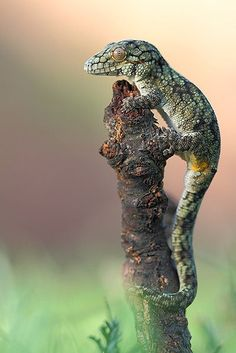12 Incredibly Cute Geckos - World's largest collection of cat memes and other animals Geckos, Reptiles Et Amphibiens, Animals And Pets, Cute Animals, Paludarium, Vivarium, Chameleon Lizard, Cute Gecko, Pet Lizards