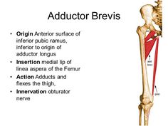 adductor brevis origin and insertion - Google Search