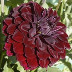 """VOODOO (BBFD) Introduced in 2000. Another addition to the ever popular """"black dahlias"""". Very much admired at our fall festival this 5"""" bloom..."""