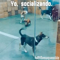 Besuqueable perros