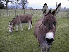 donkey | Donkey Wallpapers | Fun Animals Wiki, Videos, Pictures, Stories