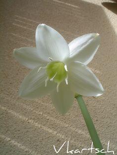 Flor branca linda (não sei o nome)