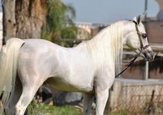 E.H. Derey (LAHEEB X BLUE BINT ZAWADA) Striaght Egyptian Stallion