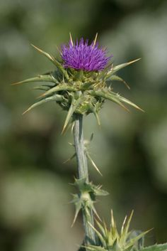 "A Foraging Witch :: Milk thistle.this ""weed"" has numerous medicinal benefits including cleansing the liver. Natural Herbs, Natural Healing, Medicinal Weeds, Edible Wild Plants, Herbs For Health, Milk Thistle, Wild Edibles, Healing Herbs, Growing Herbs"