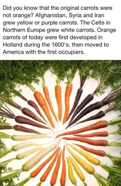 Did you know that the original carrots were not orange? Afghanistan, Syria and Iran grew yellow or purple carrots. The Celts in Northern Europe grew white carrots. Orange carrots of today were first developed in Holland during the 1600's, then moved to America with the first occupiers. #health #healthy diet