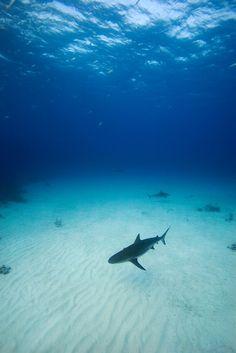 Caribbean Reef Sharks - Bahamas