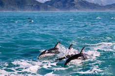 Swimming with Dolphins in Kaikoura, New Zealand Read more: http://www.asherworldturns.com/swimming-with-dolphins-in-kaikoura/