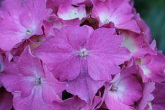 één hortensia bloempje ziet er ook wel mooi uit als je het vergelijkt met een hele tros