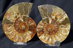 FREE USA Shipping Dinosaur Fossil Pair ammonite by Paulstaberminerals, $99.99