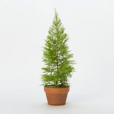 Lemon Cypress Topiary - for my planters by the front door