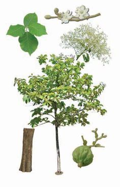 Teak, Indian oak (Tectona grandis L.)