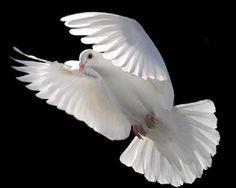 Pomba branca Paz