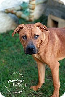 Roanoke, VA - American Pit Bull Terrier Mix. Meet Zeus a Dog for Adoption.