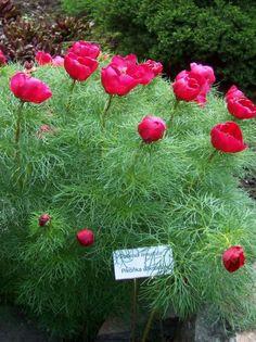 Paeonia tenuifolia (Fringed Peony)