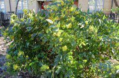 Mahenia aquifolium - Google Search