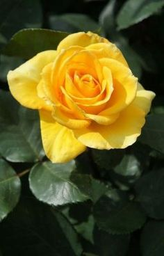 Roses need fertilizer but fertilizing roses does not need to be complicated There is a simple timetable for feeding roses Read here to learn more about when to fertilize roses # Amazing Flowers, Beautiful Roses, Rose Care, Plant Diseases, Little Rose, Special Flowers, Growing Roses, Hybrid Tea Roses, Rose Bush