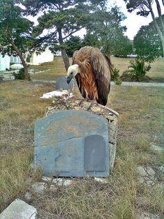 Buitre en el Cementerio. by Manuel Pérez C., via Flickr