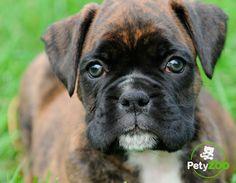 Boxer Americano, Dogs, Animals, Animales, Animaux, Pet Dogs, Doggies, Animal, Animais