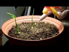 ▶ Growing Ginger from Rhizome Cuttings, Days 31-35 - YouTube