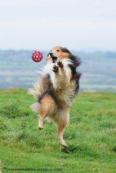 Gotcha! Shetland Sheepdog
