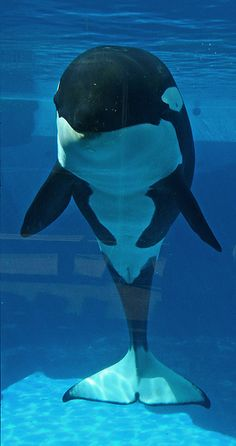 Kalia. Captivity kills. Don't buy a ticket to any marine park. Demand sea pen sanctuaries for those who cannot live wild and stop the captive breeding. Set them free when possible! Empty the tanks!