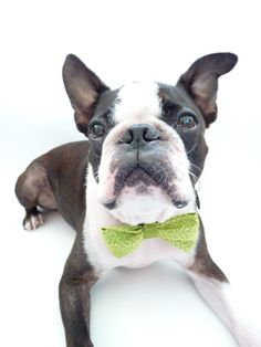 So cute! love the green bow tie on this boston terrier