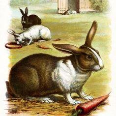 The Rabbit ~ Free Illustration