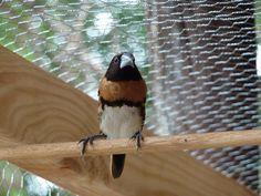 Chestnut Finch