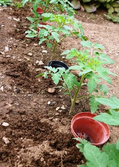Careful Watering to Minimise Tomato Blight- pots sunk into the ground next to each plant. fill pots rather than watering with a sprayer Tomato Problems, Growing Tomatoes, Tomato Seedlings, Tomato, Garden Pest Control, Tomato Growers, Tomato Blight, Veggie Garden, Garden Pests