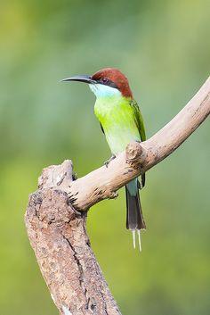 Blue-throated Bee-eater (Merops viridis) by Chong Lip Mun, via Flickr