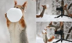 The cutest photoshoot ever! Photographer snaps pair of red squirrels playing with snowballs... and even giving camerawork a go themselves!