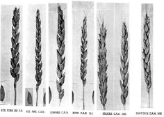 Heritage Wheat Varieties: The old varieties usually have tall straw; straw is useful for farmers feeding animals or bedding for animals. Modern varieties were developed for the combine and straw was seen as a nuisance. In the mid and early 1800s varieties were called red or white, based on the color of the kernal, and usually a name of the farmer or region where the variety was grown.