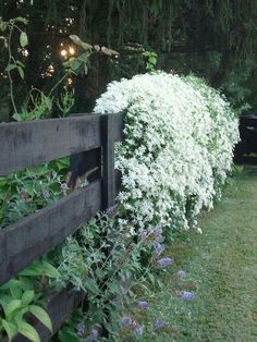 One of my favorite fall garden plants is the showy Clematis paniculata(C. One of my favorite fall garden plants is the showy Clematis paniculata(C. Not only does this beauty cov Garden Vines, Autumn Garden, Fall Garden Planting, White Plants, Autumn Clematis, Plants, Moon Garden, Clematis Paniculata, White Gardens