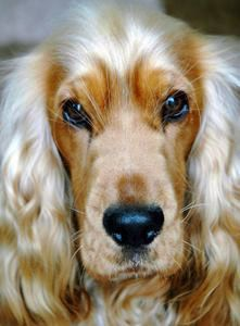 This is Max, my gorgeous golden cocker spaniel - he's about 18 months old in this photos (he's almost 8 now) and he's my best friend!  Copyright of About Cocker Spaniels.com