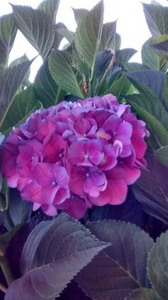 Hortensia de Invierno...Sur de Chile