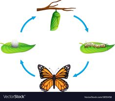 Life cycle - Danaus plexippus vector image on VectorStock Sequencing Activities, Science Activities, Activities For Kids, Fox Crafts, Pete The Cats, Butterfly Life Cycle, Spring Theme, Montessori Toddler, Toddler Art