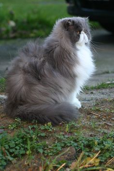 gray & white persian cat.