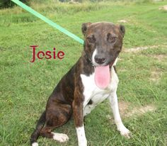 JOSIE IS URGENT! She's a very sweet and happy girl!  Please pitch in if you can to sponsor this darling sweetie: http://pledgie.com/campaigns/21682 Dog friendly, people friendly but a bit timid at first. Loves water, very playful. Has a kennel mate Lisa.Out of state adoptions and rescue welcome! FREE TRANSPORT CAN BE ARRANGED!!! https://www.facebook.com/PawsToTheRescueAtMarionCountyAnimalShelter/photos/a.181901978588650.34200.181656871946494/411979662247546/?type=1&theater