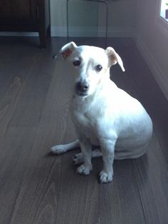 Dog sitter for a 13 yr old jack russel terrier.    House Sitter Needed for ziggy1956  Location Christie Park, SouthWest Inner City, Calgary   Alberta Canada Availability Jun 29,2013  For 11 days   Short Term  Not a member? Join today to contact homeowner ziggy1956  I require a dog sitter from June 29th to July 9th 2013. I have a 12 yr old male jack russel terrier. He is never left alone overnight. Davidson is very easy going, laid back and likes to sleep alot and watches for a..