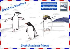 Ahead of World Penguin Day, The Latin America Travel Company have created a guide on where to see penguins in their natural habitats. Macaroni Penguin, Penguin Day, Gentoo Penguin, Sustainable Tourism, Travel Companies, Latin America, Habitats, Penguins, Memes