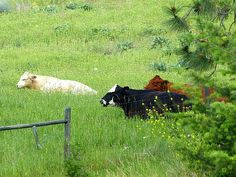 Beautiful capture of these cattle resting on a hillside in the Lake district of the Okanagan Valley Will