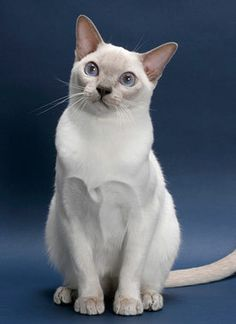Tonkinese Cat Breed Information