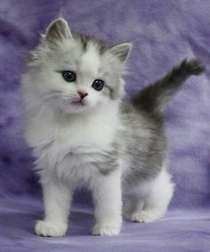 Cute Cats And Kittens Wallpaper Cute Kittens That Stay Small Kittens And Puppies, Cute Cats And Kittens, Kittens Cutest, Cool Cats, Puppies Gif, Fluffy Kittens, Kittens Playing, Pretty Cats, Beautiful Cats