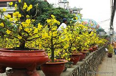 Potted Mai-flowers for the Tet, Vietnamese New Year.