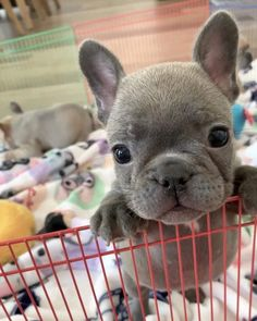 """Visit our internet site for more details on """"French bulldog pup"""". It is an outstanding location to learn more. Cute French Bulldog, French Bulldog Puppies, Cute Dogs And Puppies, Baby Dogs, Doggies, Baby Beagle, Puppies Puppies, Retriever Puppies, Baby Animals Pictures"""