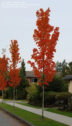 PlantFiles Pictures: Red Maple, Scarlet Maple 'Bowhall' (Acer rubrum) by growin Windbreak Trees, Columnar Trees, Garden Trees, Trees And Shrubs, Trees To Plant, Small Ornamental Trees, Small Trees, Acer Rubrum, Skinny Tree