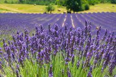 Lavander field - Lavander field in Provence.